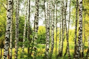 Fototapeta na flizelinie MS-5-0094 BIRCH FOREST