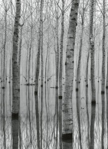 Fototapeta Papierowa 5122-2P-1 Birch Forest in the Water
