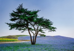 Fototapeta Papierowa 5034-4P-1 Tree in Blue Flower Field in Japan